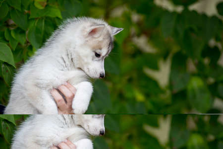 portrait of a cute husky puppy sitting on his arms dangling his paws. age 3 months