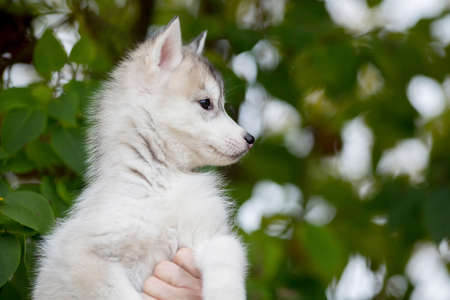 Cute fluffy puppy husky sitting on his arms looking away 스톡 콘텐츠
