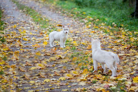 two small fluffy puppy husky stand on the road
