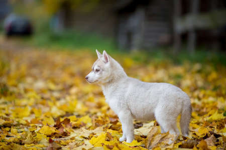 beautiful white husky puppy in yellow leaves