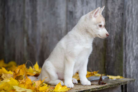 cute fluffy husky puppy sitting on a background of yellow autumn leaves