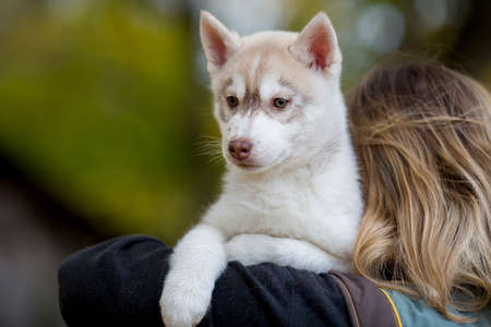 beautiful fluffy puppy husky sits on the shoulder