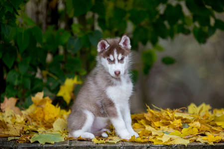 beautiful portrait of a furry husky puppy sitting on a yellow leaf background