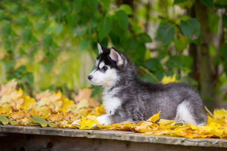 Cute fluffy husky puppy lies in yellow autumn leaves. Age 3 months. 스톡 콘텐츠