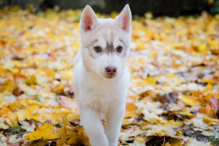 cute fluffy husky puppy goes in yellow autumn leaves. age 3 months 스톡 콘텐츠