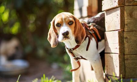 portrait of a small puppy dog Beagle. summer. sun