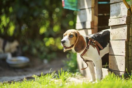 dog Beagle on a walk early in the morning at sunrise. summer. sun