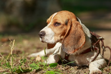 portrait of Beagle dog close-up. summer. sun