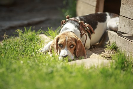 Beagle dog kennel. lies about homes dogs. summer. sun