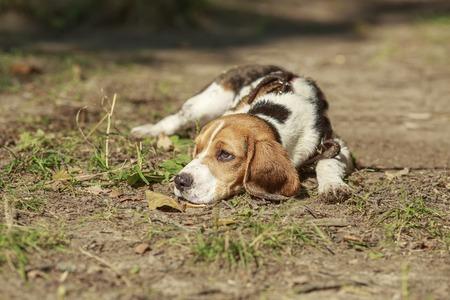 Beagle dog lying on the grass. basking in the sun. summer. sun