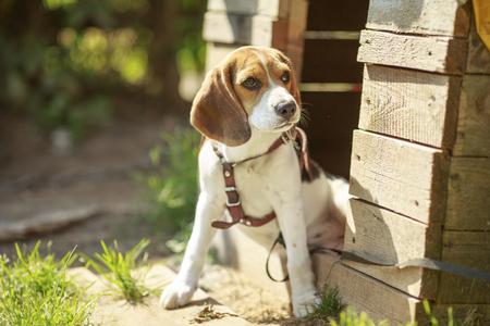 Beagle dog kennel. sitting around the house dogs. summer. sun