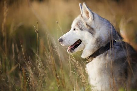 portrait of siberian husky age one year