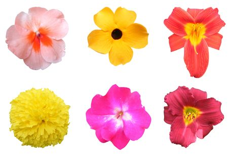 petunia wild: Six different colorful flowers to choose from isolated on a white background.