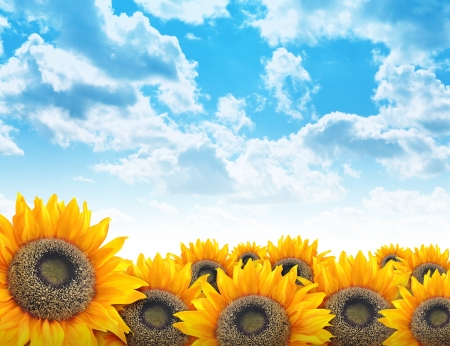 recycle area: A beautiful yellow sunflower field with bright blue clouds in the sky. Add your text to the copyspace. Use it for a nature, environment or flower concept background.
