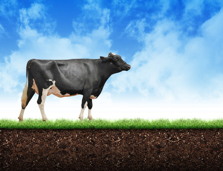 A black and white fram cow is walking on green grass with soil below and clouds above it with copyspace. Use it for a dairy or agriculture concept.