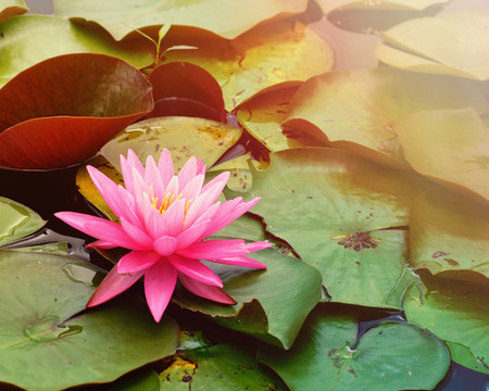 A single pink lily pad is on a pond of water for a tranquil or nature scene