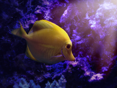 yellow tang: A yellow tang Zebrasoma flavescens fish is swimming by reef deep in the water for an aquatic concept. Stock Photo