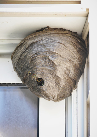 A huge bee hive nest is hanging from a house with bees coming in and out for a pest control or allergy concept. Stockfoto