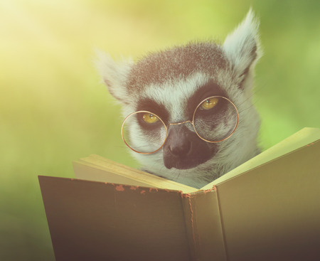 reader: A lemur animal with glasses is reading a book in the woods for an education or school concept. Stock Photo