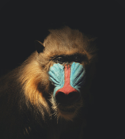 A wild mandrill mammal is isolated on a black background for a endagered or species concept about animals.