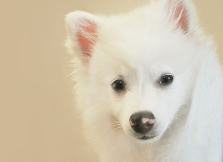 A closeup of a white america husky dog breed. Use it for a pet or adoption concept.