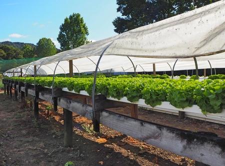 hydroponic salad farm