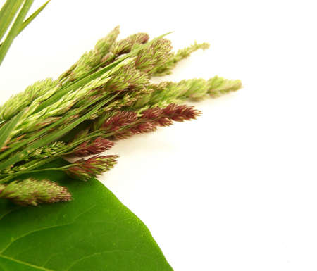 Image of different types of wild grasses, with a green lilac leaf.  Focus is on different seeds. Imagens