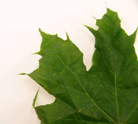 鮮やかなグリーンのクローズ アップ、カエデの葉にしわ。 写真素材