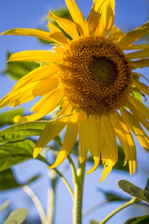 Sunflower on a summer afternoon Imagens