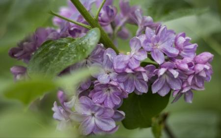 Wet purple lilacs in spring
