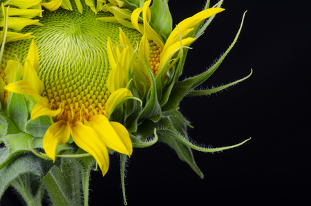 Isolated sunflower core close up over a black background, macro new born sunflower bloom