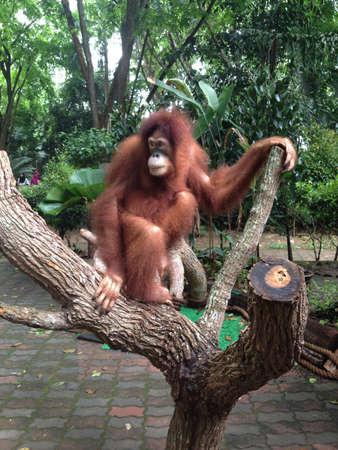 orang: Orang hutan@zoo negara