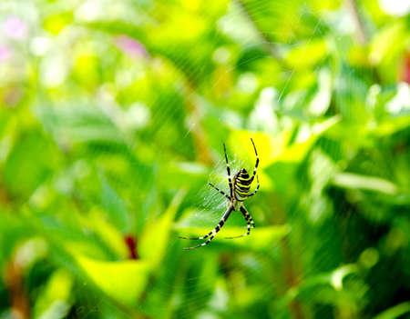 argiope: Spider Argiope bruennichi on web