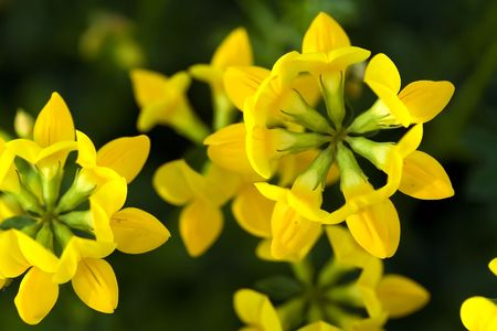 Bird's foot Trefoil Stock Photo - 832942