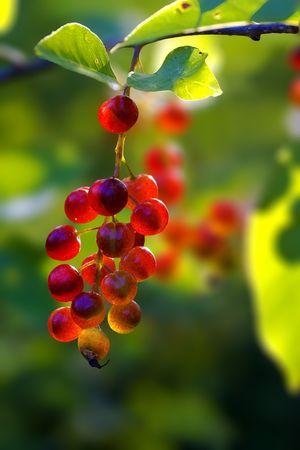Cranberry bush fruits Stock Photo