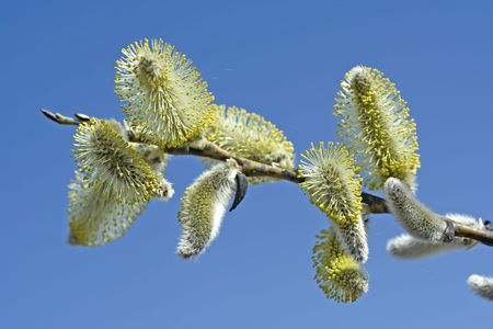 First hairy willow catkins in spring photo