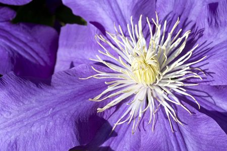 Close up of the of a purple clematis flower  Stock Photo