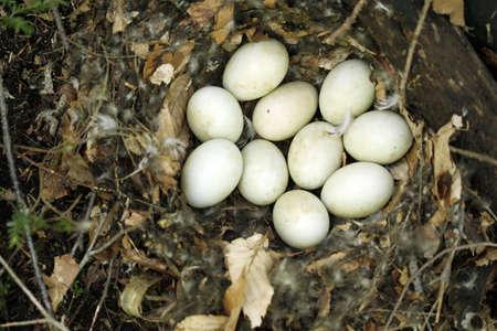 incubate: Ten eggs in a bird nest