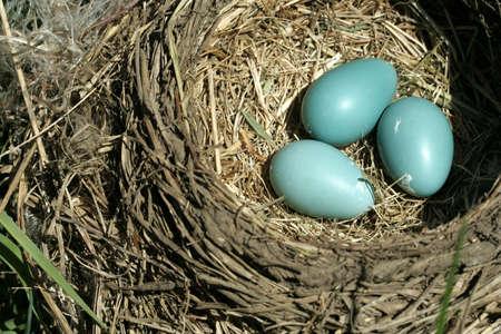 Bird nest with three turquoise eggs