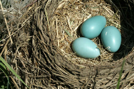 Bird nest with three turquoise eggs