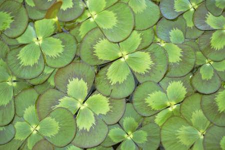 marsilea: Floating Water Clover background - Marsilea mutica