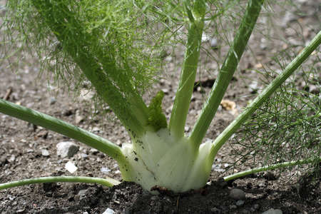 Fennel in a vegetable garden Foto de archivo - 1304389
