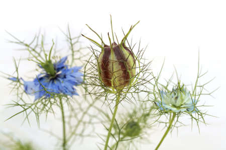 Love in the mist - Nigella damascena - flowers and seed capsule