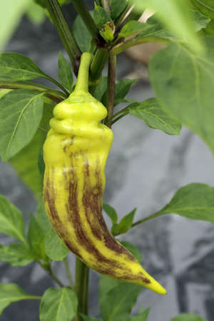 pimiento: Striped yellow chili pepper in a vegetable garden