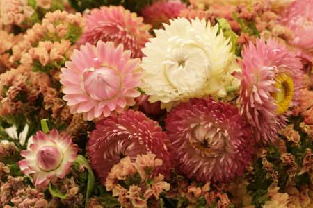 everlasting: Dried strawflowers - Everlasting flowers - Helichrysum bracteatum