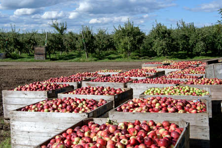 Freshly picked apples,stored in crates in an orchard