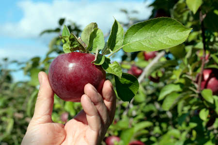 freshly picked: Freshly picked apple in an orchard