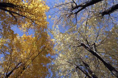 silver maple: Silver and sugar maple trees in autumn on a sunny day