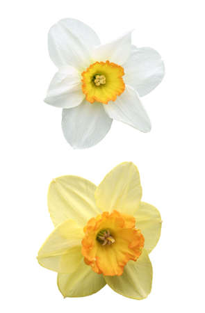 Daffodil and narcissus, with water drops, isolated on white background