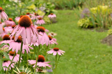 Garden scene with blooming cone flowers and path - Shallow depth of field Stock Photo